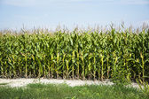 Corn field before harvest — Stock Photo