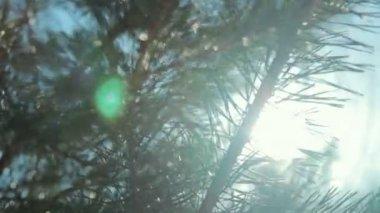 Coniferous branch with sun light — Stock Video