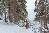 Forest, snow, winter — Stock Photo