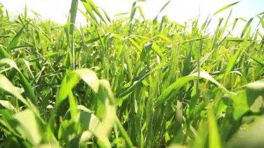 Wheat field landscape field movement — Stock Video
