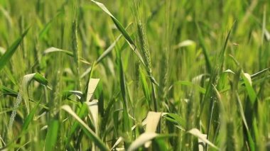 Young green wheat field — Stock Video