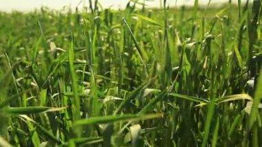 Vete fält — Stockvideo
