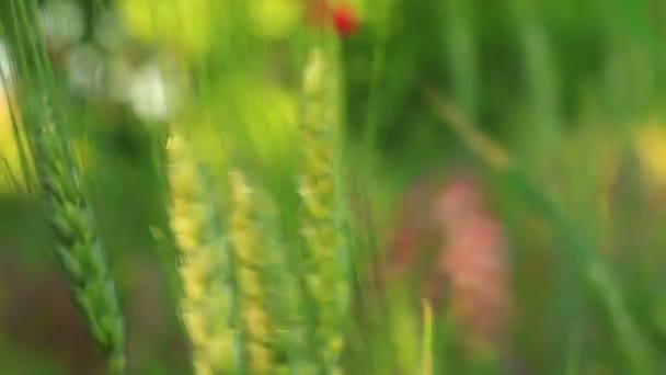 Primer plano de las orejas de trigo — Vídeo de stock
