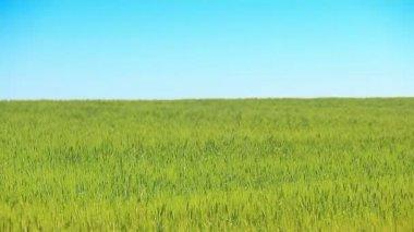 Buğday yeşil alan ve mavi gökyüzü — Stok video