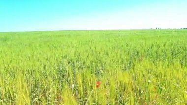 Green field and blue sky — Stock Video