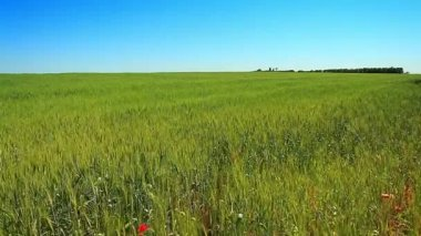 Wheat field — Stok video