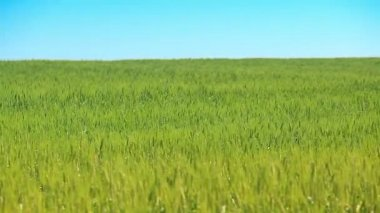 Wheat green field and blue sky — Stock Video