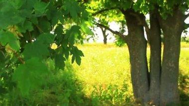 Sunlight through leaves — Stock Video
