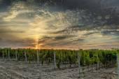 Vinha ao pôr do sol — Fotografia Stock