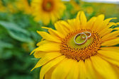 Engagement rings at the sunflower — Stock Photo
