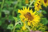 Wedding  rings on sunflower — Stock Photo