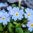 Primula vulgaris blue growing in natural conditions — Stock Photo #70605863