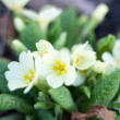 Primula vulgaris white growing in natural conditions — Stock Photo #70605865
