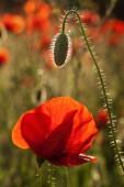 Beautiful blooming poppies — Stock Photo