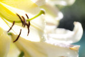 Blurred background Flower Lilly — Stock Photo