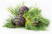 Baldes com cones de cedro — Fotografia Stock