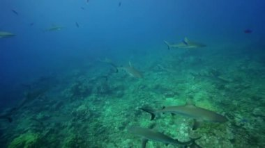 Grey reef sharks — Stock Video