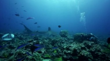 Grey reef sharks on the reef — Wideo stockowe