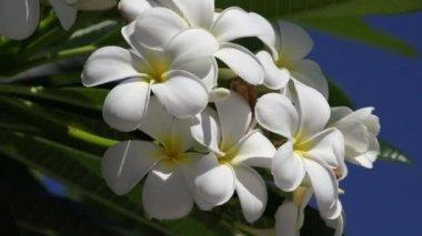 White Plumeria flowering — Stock Video