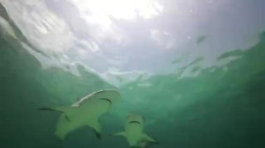 Sharks in blue water — Stock Video