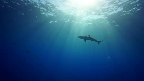 Blue sharks in water — Vidéo