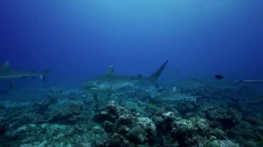 Caribbean reef sharks — Stock Video
