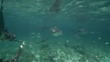 Dozens of sharks swimming — Stock Video