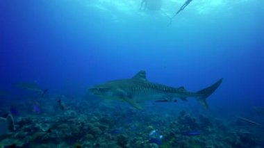 Tiger sharks on the reef — Stock Video