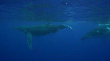 Humpback whales around Tahiti — Stock Video