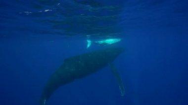 驼背鲸周围大溪地 — 图库视频影像
