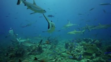 Sharks searching for food — Stock Video
