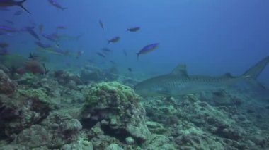 Tiger shark and colorful fish — Stock Video