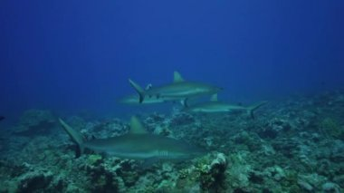 Grey reef sharks and fish — Stock Video