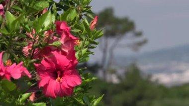 Růžový ibišek květ — Stock video