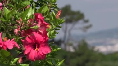 Pink Hibiscus flower — Stock Video