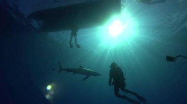 Žralok modravý s potápěči — Stock video