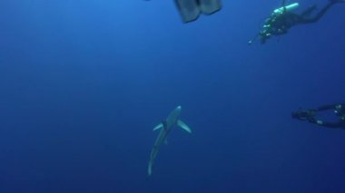 Silvertip shark in the blue water — Stock Video