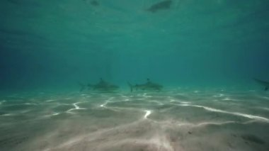 Grey reef sharks swimming — Stock Video