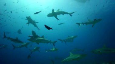 Grey reef sharks — Stock Video
