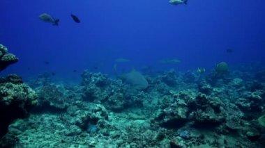 Lemon shark feeding — Stock Video