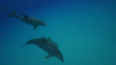 Dolphins in the clear waters — Stock Video