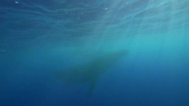 Humpback whales swimming — Stock Video