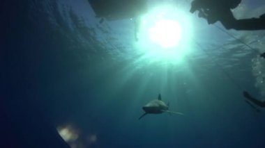 Blue shark with scuba divers — Stock Video