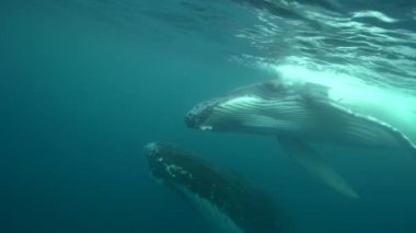 Humpback whales around Tahiti — Stockvideo