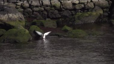 Seagull diving in ocean — Stock Video