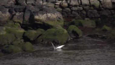 Seagull diving in ocean — Stockvideo