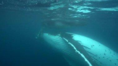 Humpback whales, around Tahiti, — Stock Video