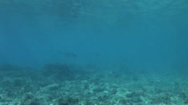 Eagle rays in shallow water — Stock video