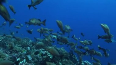 School of surgeon fish close up — Stock Video