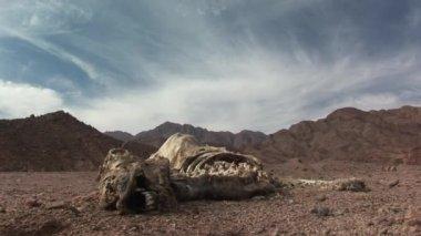 Dead camel in desert — Stock Video